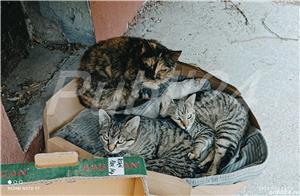 pisică tortoiseshess sterilizată pentru adopție - imagine 2