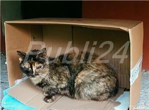 pisică tortoiseshess sterilizată pentru adopție - imagine 3