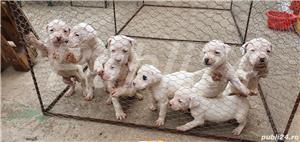 Dog Argentinian - imagine 3