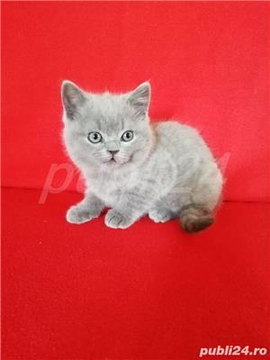 Vand pui pisica british lila! - imagine 2