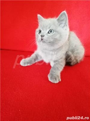 Vand pui pisica british lila! - imagine 1