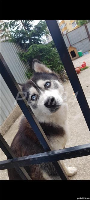 Ofer mascul husky pt monta - imagine 1