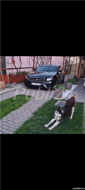 Ofer mascul husky pt monta - imagine 5