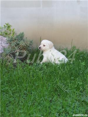 Labrador Retrievers - imagine 4