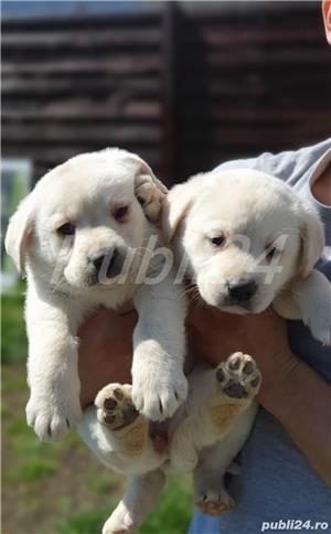 Labrador Retrievers - imagine 6