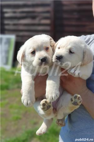 Labrador Retrievers - imagine 1