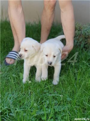 Labrador Retrievers - imagine 3