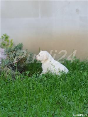 Labrador Retrievers - imagine 5