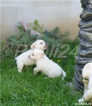 Labrador Retrievers - imagine 2