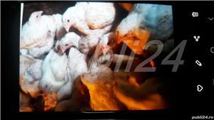De vânzare pui de carne și rasă mixta - imagine 1