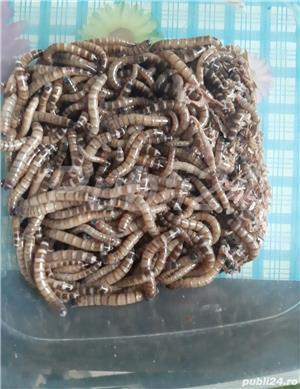 Superworms și Mealworms vii - imagine 2