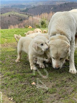 Vand pui ciobanesc Asia Centrala( Volkodav) rasa la fel de puternici ca si un kangal sau caucazian - imagine 2