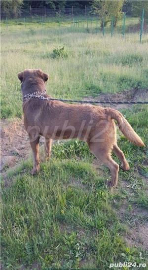 Labrador Ciocolatiu Monta - imagine 3