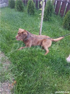 Labrador Ciocolatiu Monta - imagine 4