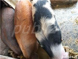 porci grasi - imagine 1
