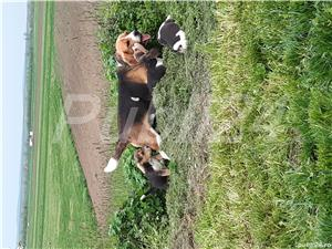 mascul beagle pentru monta - imagine 1