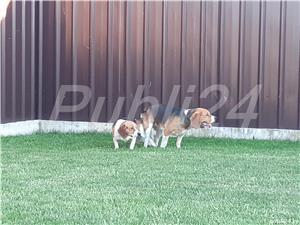 mascul beagle pentru monta - imagine 4
