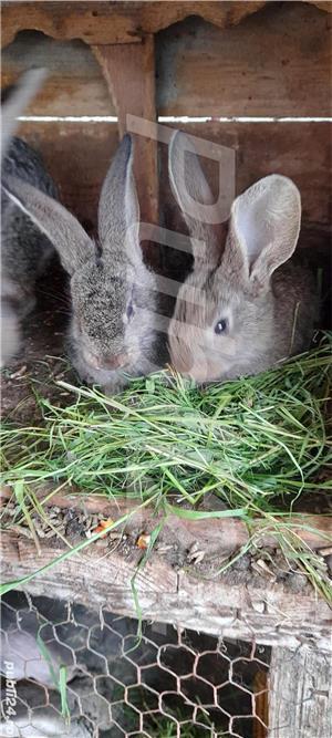Vand pui de iepuri! - imagine 3