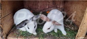 Vand pui de iepuri! - imagine 2