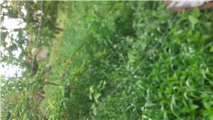 Trifoi lucernă(iarbă) în Micălaca - imagine 1
