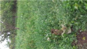 Trifoi lucernă(iarbă) în Micălaca - imagine 2