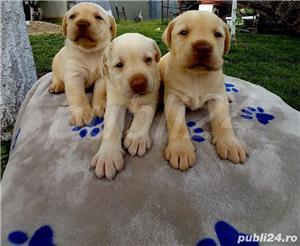 Pui de Labrador Retriever CIOCOLATIU si CREM - imagine 2