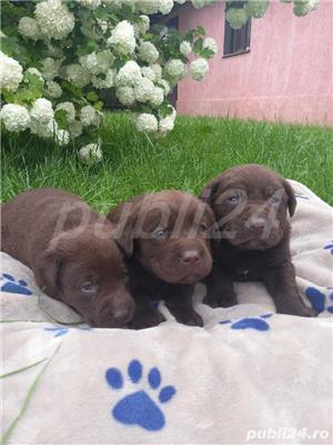 Pui de Labrador Retriever CIOCOLATIU si CREM - imagine 4