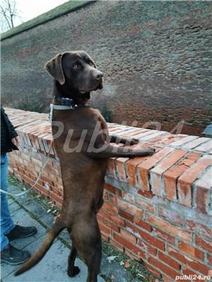 Montă labrador retriever  - imagine 3