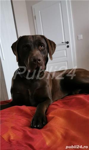 Montă labrador retriever  - imagine 4