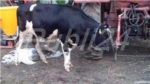 Vaci cu lapte și vitel - imagine 1