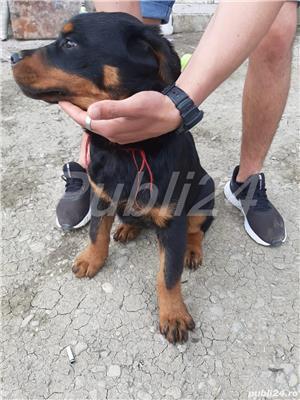 Rottweiler pui - imagine 4