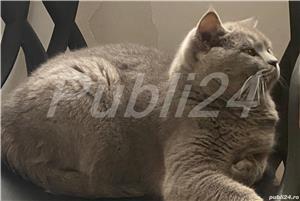 Vand British Shorthair si Scottish Fold  - imagine 1