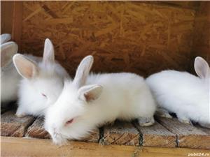 Vând iepuri  - imagine 1