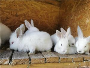 Vând iepuri  - imagine 2