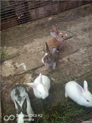 vand iepuri 20 bucata rasa mixta si cap de leu la 10 bucati cumparate ofer transport!! - imagine 2
