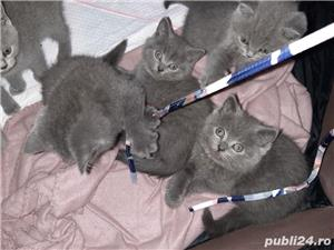 pisici british shorthair blu cu pasaport si cip .au12 saptamani - imagine 5