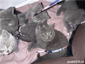 pisici british shorthair blu cu pasaport si cip .au12 saptamani - imagine 6