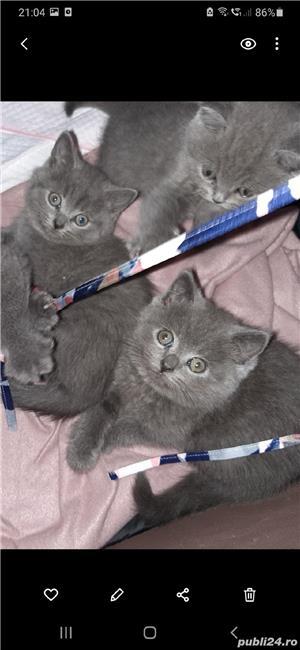 pisici british shorthair blu cu pasaport si cip .au12 saptamani - imagine 3