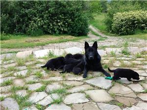 Pui ciobănesc Alsacian, lup negru - imagine 7