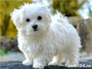 Bichon Maltese din parinti cu pedigree!!! - imagine 3