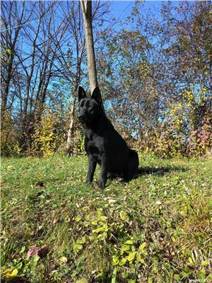 Pui ciobănesc Alsacian, lup negru - imagine 8