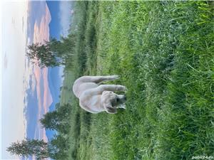 Vand pui ciobanesc Asia Centrala( Volkodav) rasa la fel de puternici ca si un kangal sau caucazian - imagine 9