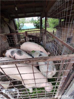 Porci grasi crescuti in gospodaria propie - imagine 2