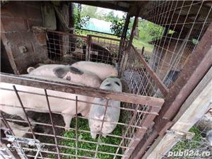 Porci grasi crescuti in gospodaria propie - imagine 3