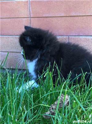 Pui pisica Persana  - imagine 10