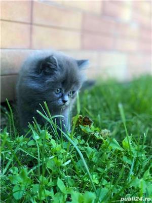 Pui pisica Persana  - imagine 6