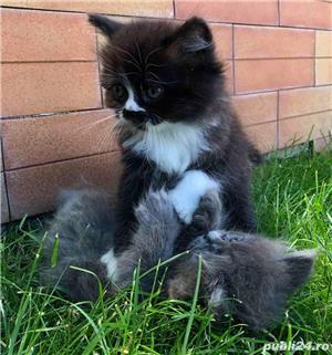 Pui pisica Persana  - imagine 8