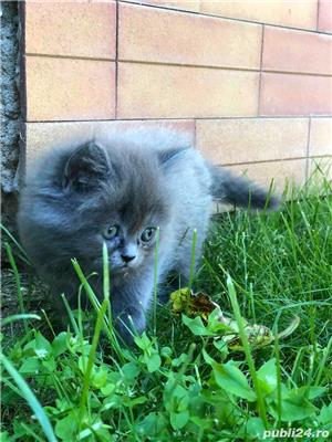 Pui pisica Persana  - imagine 7