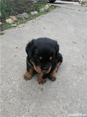 Vând câini rottweiler  - imagine 8