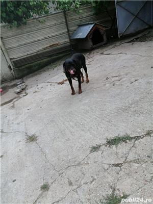 Vând câini rottweiler  - imagine 4